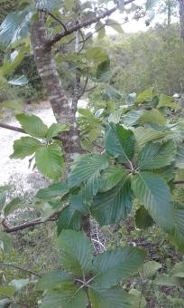 Mostajo (Sorbus Aria)